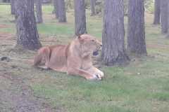 Der König der Löwen ;-)